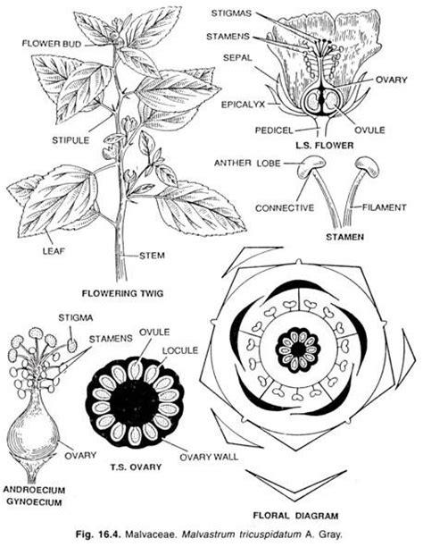 floral diagram of hibiscus hibiscus rosa sinensis floral diagram www pixshark
