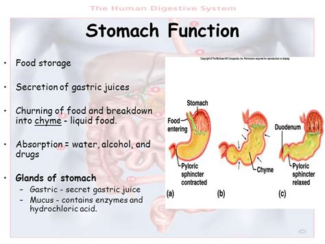 fundus of stomach function the digestive system ppt video online download
