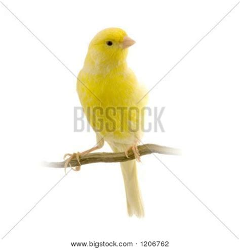 canaries bird yellow stock photos canary bird images stock photos illustrations bigstock