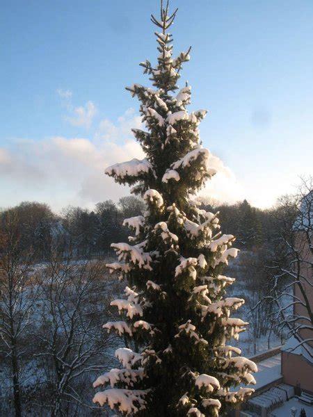 christbaumverkauf woher kommt euer weihnachtsbaum und