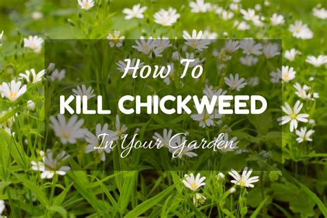 how to kill your how to kill chickweed in your garden