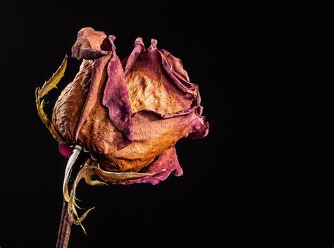 imagenes de flores marchitas de rosas marchitas y agujeros negros 11 10 11