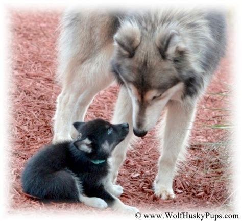 timber wolf puppies woolly hybrids timber wolf puppies available in hoobly classifieds