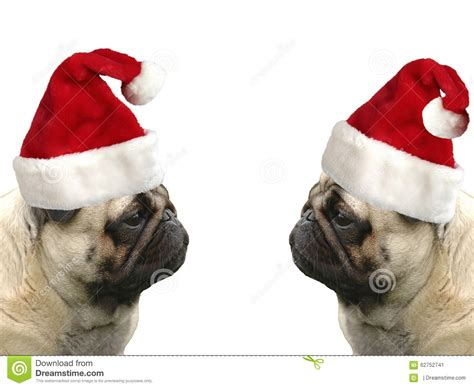 pugs with hats pugs with hats stock photo image 62752741