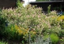 harlekinweide wann schneiden gummibaum ficus elastica pflege anleitung plantopedia