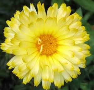 mami made it october birth flower blume des 220 ber 1 000 ideen zu oktober geburts blumen auf