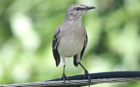 10 000 birds what is a mockingbird