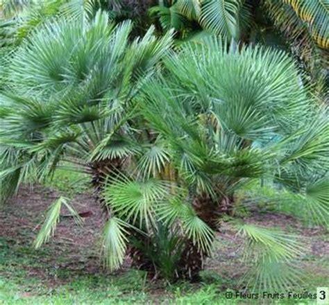 Chamaerops Excelsa Taille Adulte by Chamaerops Humilis Cerifera 233 Galement Appel 233 Palmier Bleu