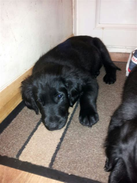 flat coat retriever puppies for sale flat coated retriever puppies for sale south molton pets4homes