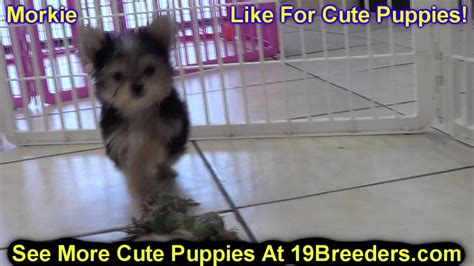 puppies for sale duluth mn morkie puppies for sale in duluth minnesota county mn hennepin dakota