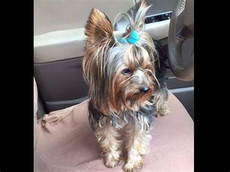 new york yorkie breeders yorkies in new york terrier puppies for sale