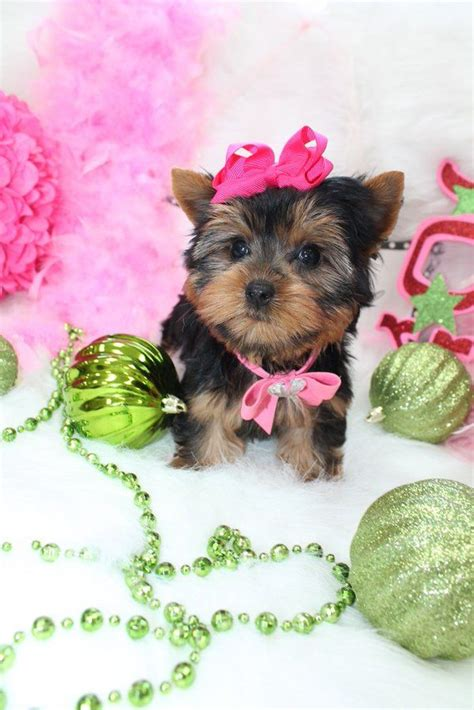 teacup yorkie for sale in florida 17 best images about t cup puppies for sale on chihuahuas