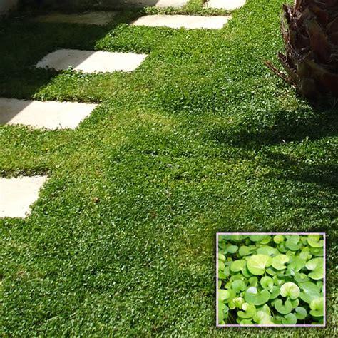 Erba Dichondra Repens by Prato Di Dichondra Repens Dicondra Centrovivai Garden
