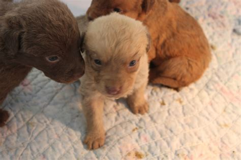 chesapeake puppies chesapeake bay retriever puppy car interior design