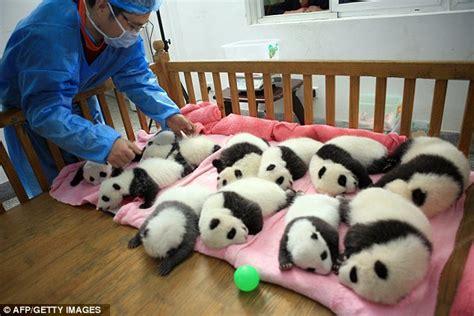Panda Crib by Pandaaahs Un Ably Cubs Snuggle Up In Their