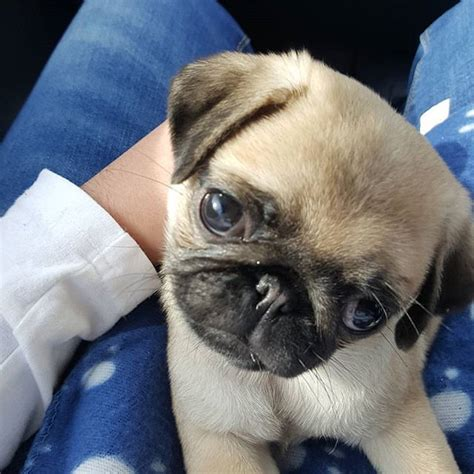 loca the pug died 474 best precious pooches images on dogs doggies and pug