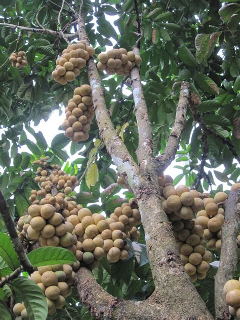 duku fruit tree jp lanzones duku langsat fruit tree borneo