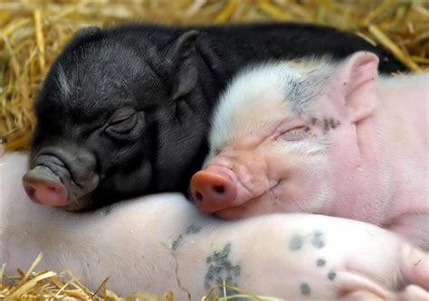 baby pigs   must love bullies