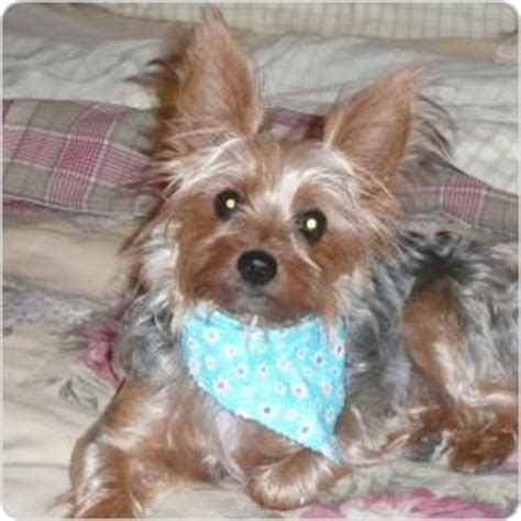 platinum blonde yorkie 17 best images about gregory s blondie other yorkie s on