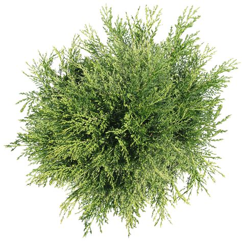 Asoka Unique Flower Vase tree png top view transparent tree top view png images