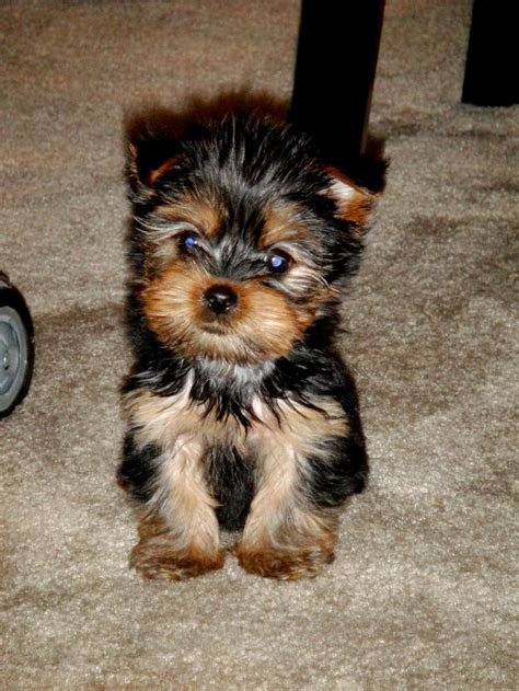munchkin yorkies what a munchkin for your cloudy day