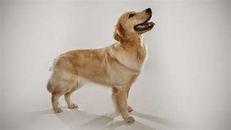 do golden retriever shed golden retriever shedding images