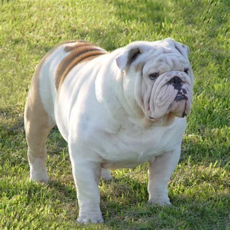 bulldog puppies nc bulldog boxer mix puppies carolina