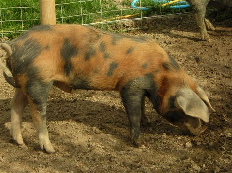 black breeds different breeds of pigs and their pictures jasper the oxford black