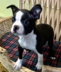boston terrier puppies denver colorado view ad boston terrier puppy for sale colorado denver usa