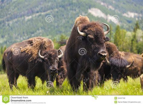 amerikanischer herd american bison or buffalo stock photography image 34447192