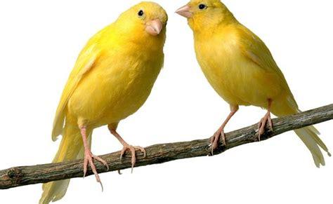 canarini alimentazione allevare canarini la guida dettaglita per amatori e