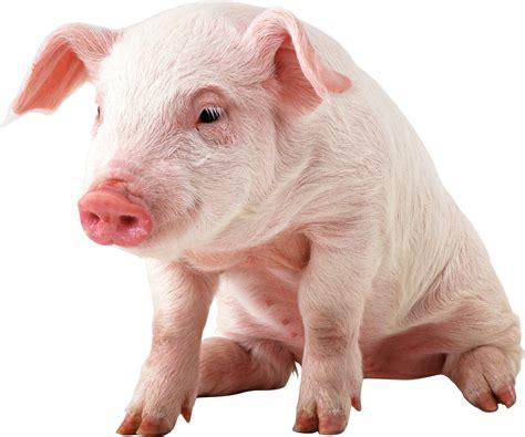 wallpaper cute pig baby pig desktop wallpaper wallpapersafari