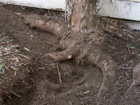 invasive tree root information learn about trees with