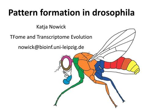 pattern formation in the drosophila wing the development of the veins ppt pattern formation in drosophila powerpoint