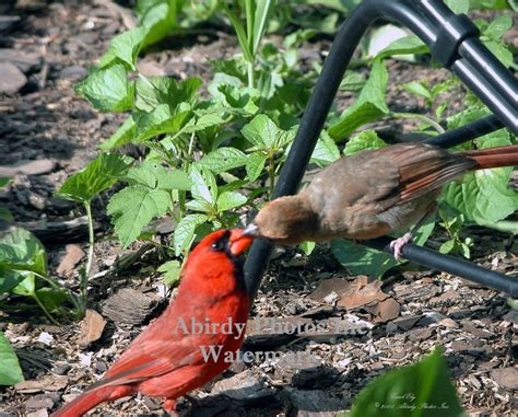 perching birds cardinal babies