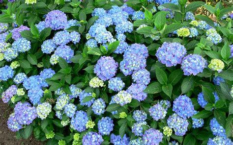 dooley hydrangea gardenality