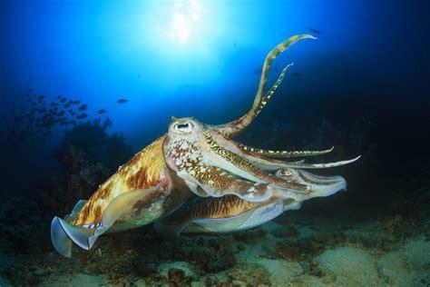 6 amazing facts about strange and beautiful cuttlefish ...