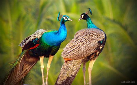 beautiful picture beautiful peacock photo by sibiar 3 preview