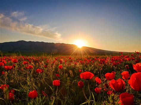 wallpapers sunrises  sunsets poppy fields sun nature flowers wallpaperscom