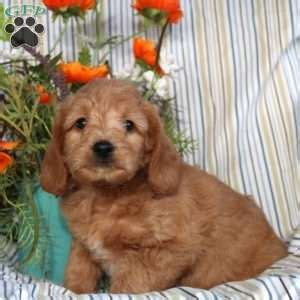 puppies for sale in vt miniature labradoodle puppies for sale in de md ny nj philly dc and baltimore