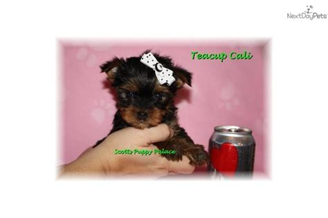 raising a teacup yorkie teacup yorkie prices breeds picture