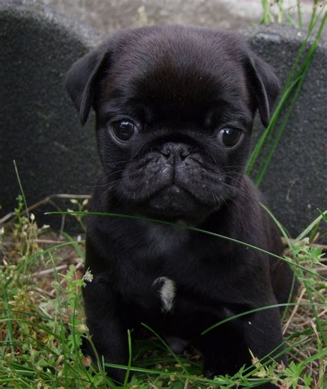 baby pug black black pug puppy the beautiful