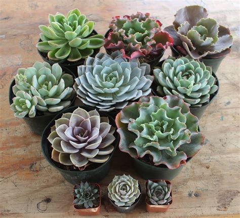 succulents pots for sale 6 quot echeveria succulent succulents for sale bulk