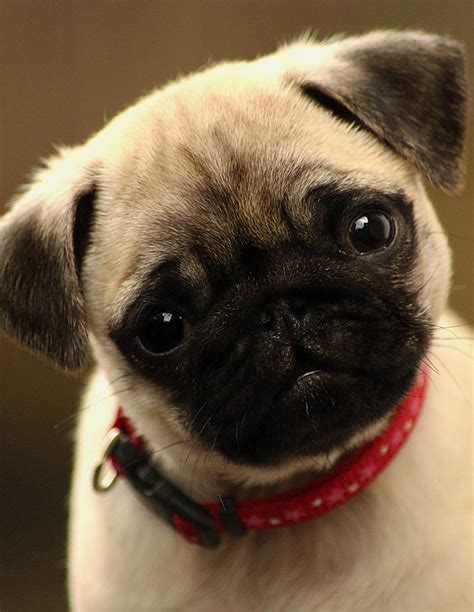 cute pug puppy pugs pinterest pictures  puppies litle pups