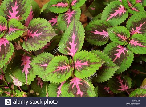 colorful pink green leaves coleus plant stock photo