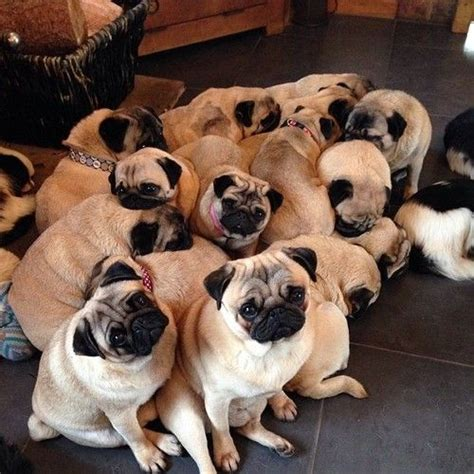 a grumble of pugs 17 best images about grumble of puggles on cats pug and