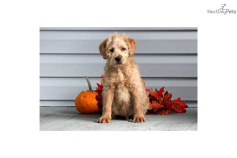 ozzy doodle puppy meet ozzie a labradoodle puppy for sale for 500