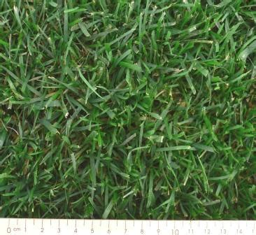 santa anna couch seed tall fescue rtf instant turf mornington irrigation