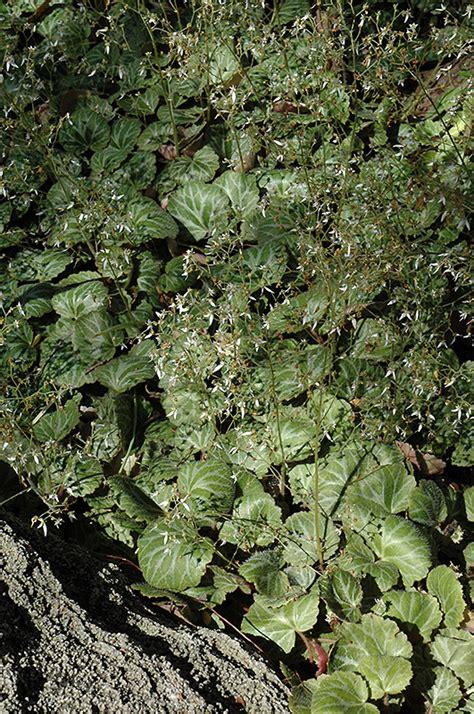 creeping saxifrage saxifraga stolonifera  richmond