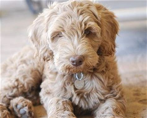 labradoodle puppies az 25 best ideas about australian labradoodle on small labradoodle
